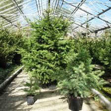 Ge 75 Ft Christmas Trees norwegian fir christmas tree christmas lights decoration