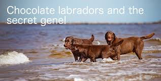 Chesapeake Bay Retriever Vs Lab Shedding by Chocolate Lab Your Guide To The Chocolate Labrador Retriever