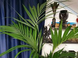 paradiesische große kentia palme tropen pflanze
