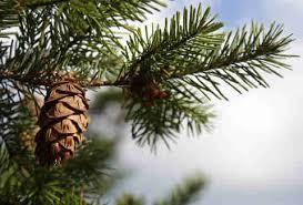 Balsam Christmas Tree Care by Types Of Christmas Trees Explained Douglas Fir Balsam Fir