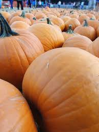 Alameda Pumpkin Patch 2015 by Silver Cat Tea Party Of The Day Pumpkin Patch And Corn Maze