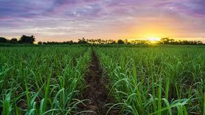 Cuban Drought Impacts Sugarcane Planting