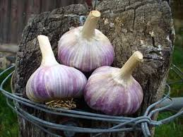 garlic from planting cloves to harvesting heads by grey duck