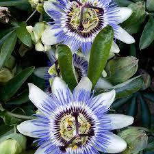 471 best Garden Passion Flower Passiebloemen images on Pinterest