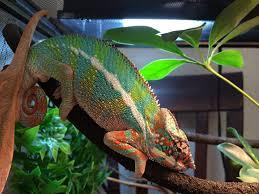 Basking Lamp For Chameleon by How To Setup A Chameleon Cage Habitat
