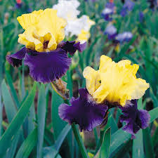 shop 3 count bearded iris bulbs at lowes