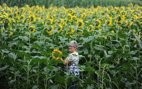 Pumpkin Farms In Harford County Maryland by 5 Sunflower Fields To Visit In Maryland