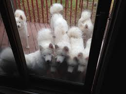 Do Samoyeds Shed All The Time by Fluffy Cloud Tries Lemon For The First Time Aww