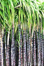 Collection Of Free Baboo Clipart Single Sugarcane Plant Download On