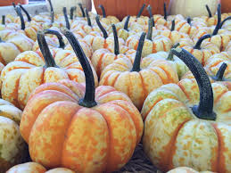 Pumpkin Patches Santa Cruz Area by Clancys Christmas Trees U0026 Pumpkin Patch Localharvest