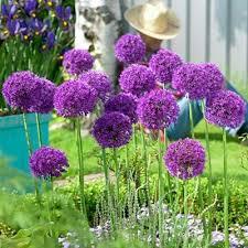 allium bulbs purple sensation