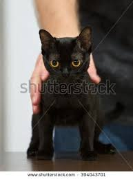 bombay cats bombay cat kitten stock images royalty free images vectors