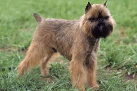 Do Wheaten Terriers Shed by Dogs That Don U0027t Shed 23 Hypoallergenic Dog Breeds