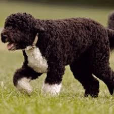 Dogs That Dont Shed Large by Top Large Dog Breeds That Don T Shed Breed Dogs Picture
