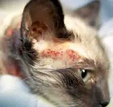 fleas on cats symptoms cat allergy symptoms pictures causes descriptions and