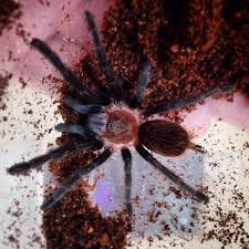Pumpkin Patch Tarantula For Sale by Moving In 3 Weeks Selling Some Tarantulas Willing To Give A Good