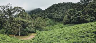 100 Green Tea House Alliance Into The Cloud Forest Finding A New Specialty Origin In