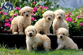 Do Jackie Bichon Shed by Top 20 Cutest Dog Breeds Around The World