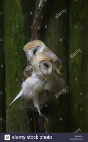 Two Barn Owls Stock Photos & Two Barn Owls Stock Images - Alamy Wildwatchcams Owls The Barn Owlcam Story Washington Delta The Owl Vision Capture Process Victory Ranch Welcomes New Residents 5 Native Utah How To Build A Nest Modern Farmer In Flight By Gailjohnson On Deviantart A Natural Predator For Vineyard Pests Northwest Public Radio Single Baby All But Ready To Fly Whitby Parody Wiki Fandom Powered Wikia Maxresdefaultjpg Pinterest Owls Barns And Bird Of Prey Centres Experience Bear And Other Songs Helping Barn Uk Wildlife Trusts