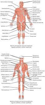 interieur corps humain femme liste des muscles du corps humain wikipédia