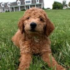 Hypoallergenic Non Shedding Small Dog Breeds by Non Shedding Dogs Breeds Breed Dogs Picture