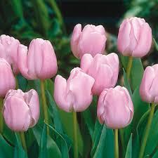 buy tulip bulbs cheap tulip bulbs for sale tulip bulbs