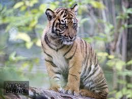 Coloriage Zoo Tigre