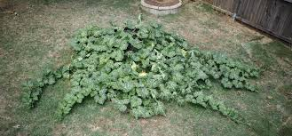 Fertilizer Requirements For Pumpkins by How To Grow Your Own Pumpkins Smart Pot Blog