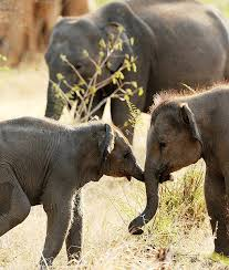 Head To Udawalawe National Park For Guided Jeep Excursions See The Largest Living Animals