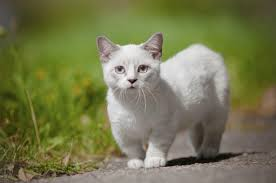 munchkins cats 7 facts about munchkin cats mental floss