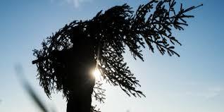 umweltschädliche bräuche weihnachtsbäume sind irrsinn taz de