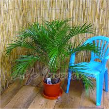 Patio Plant Stand Uk by Phoenix Roebelenii Pygmy Date Palm Pot Indoor Outdoor Tree