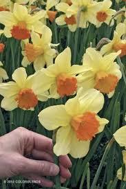 narcissus bridal crown narcissus bulbs