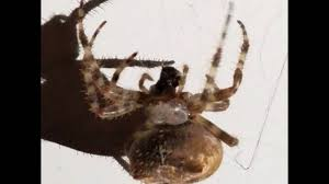 Giant Cat-Faced Spider - YouTube Barn Spider Photography Nature Pinterest Update Spiders Still Dont Bite Arthropod Ecology Beneficial In The Landscape 49 Bana Nephila Tegenaria Domestica Wikipedia Grass Spiders At Spiderzrule Best Site World About Spiderlings Eat Mother Youtube Myths Burke Museum What Are Some Common Montana Animals Momme 7 Bug And Squashed National Geographic Society Blogs Neighbourhood Agriculture Food Molting