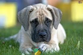 Cane Corso Mastiff Shedding by Mastiff Dog Breed Information Buying Advice Photos And Facts
