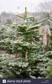 Silvertip Fir Christmas Tree by Noble Fir Abies Procera Stock Photos U0026 Noble Fir Abies Procera