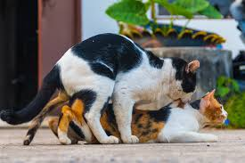 cats mating why do cats screech after mating and attack the