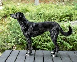 What Kind Of Dogs Shed The Most by Catahoula Cur Wikipedia