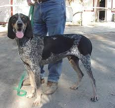 Do Bluetick Coonhounds Shed by I Always Wanted A Blue Tick Hound Animals Pinterest Ticks
