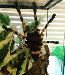 Pumpkin Patch Tarantula For Sale by April 2016 Tarantula Of The Month Poecilotheria Regalis Tarantulas