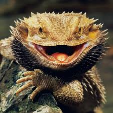 Improper Shedding Bearded Dragon exotic reptiles all reptiles are there page 2