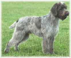 German Wirehaired Pointer Shedding by 15 German Wirehaired Pointing Griffon Shedding Biewer