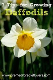 transplanting daffodil plants how to divide and transplant