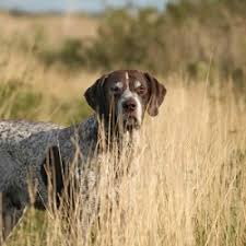 German Shorthaired Pointer Shed Hunter by Hunting Dog Breeds Pointers Breed Dogs Picture