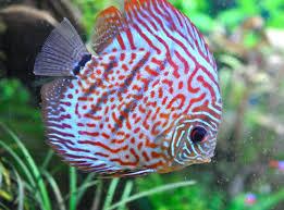 poisson eau douce aquarium tropical les poissons d eau chaude