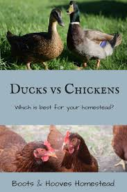 71 Best Ducks & Geese (HBN) Images On Pinterest   Ducks ... 6 Easy Tips For Duck Brooding Success Community Chickens For Making Maximum Profits From Duck Farming Business You Have To Types Of Ducks Eggs Meat And Pest Control Countryside Network Best Breeds Pets Egg Production Hgtv Your Winter Coop Keeping In Cold Weather Coop 12 Things You Should Know About Raising Ducks Or Chickens Ten Reasons Choose 132 Best Images On Pinterest Backyard What Eat And How To Care Them