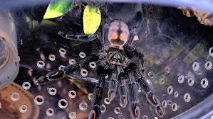 Pumpkin Patch Tarantula Scientific Name by Husbandry Tom U0027s Big Spiders