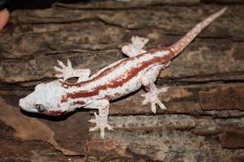 Halloween Pinstripe Crested Gecko by Terrarium For Rhacodactylus Auriculatus Hledat Googlem R
