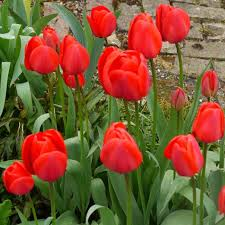 buy tulip bulbs on sale in ireland at best prices