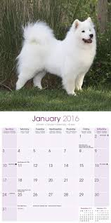Do Samoyeds Shed All The Time by Samoyed Calendar Dog Breed Calendars 2017 2018 Wall